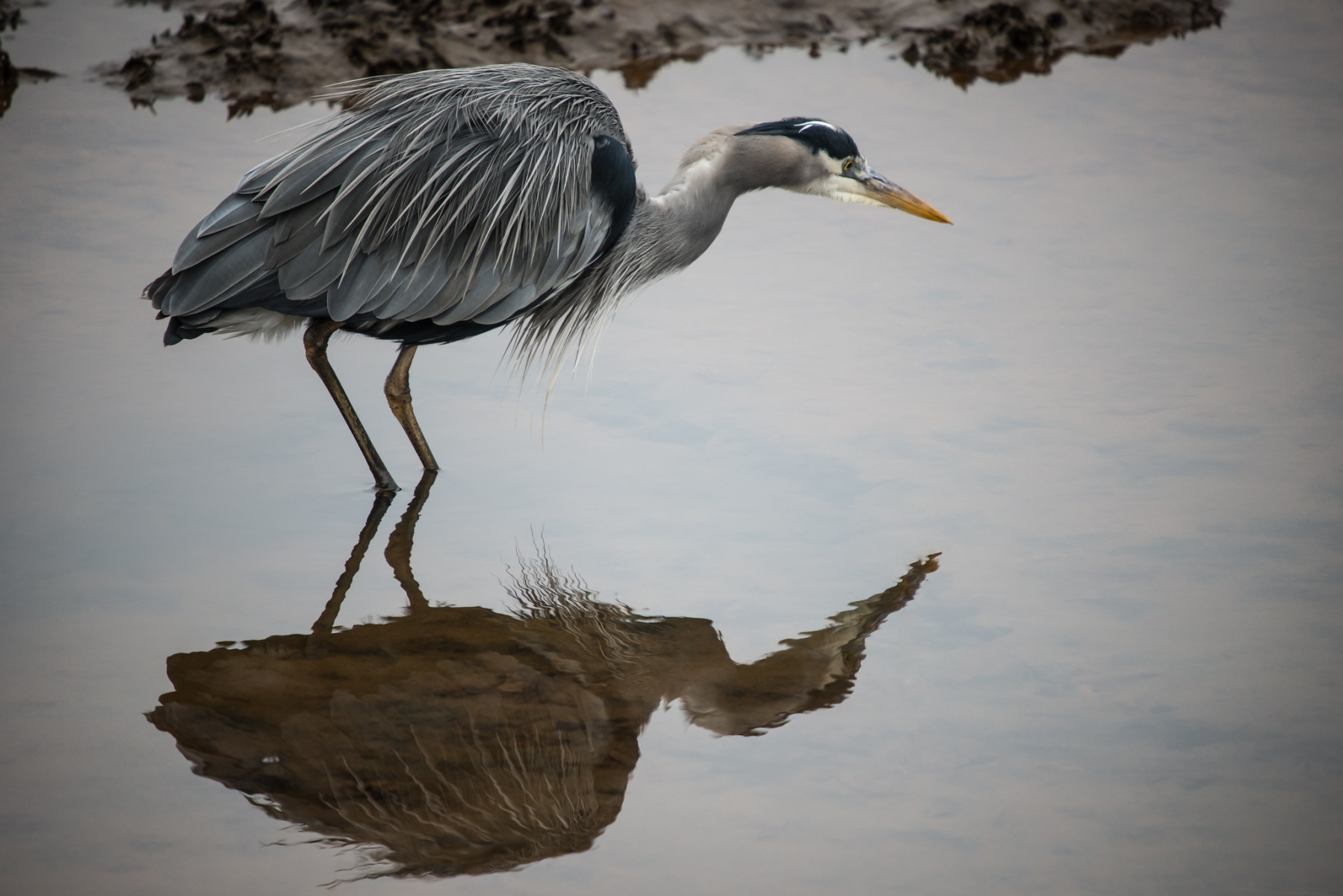 Reflection of a Heron