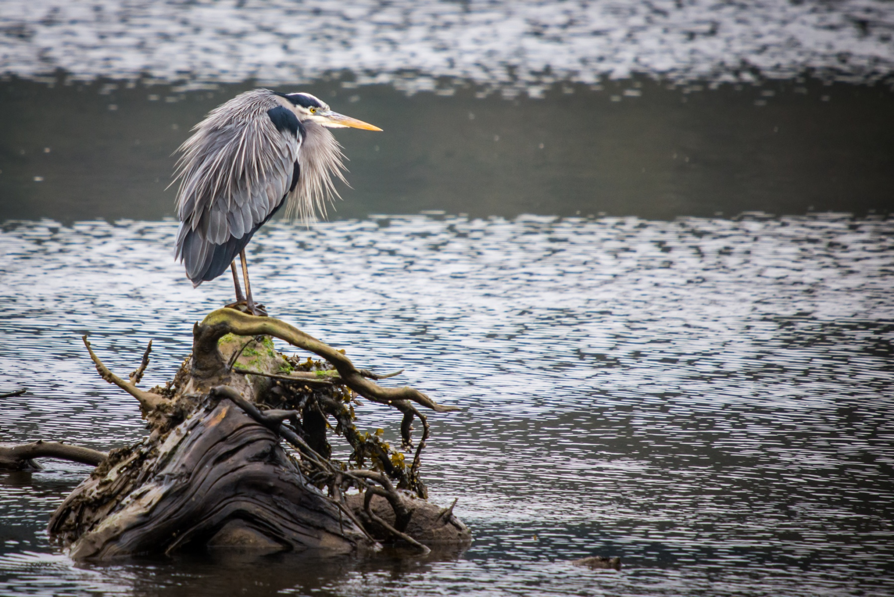 Blue Heron Standing Guard